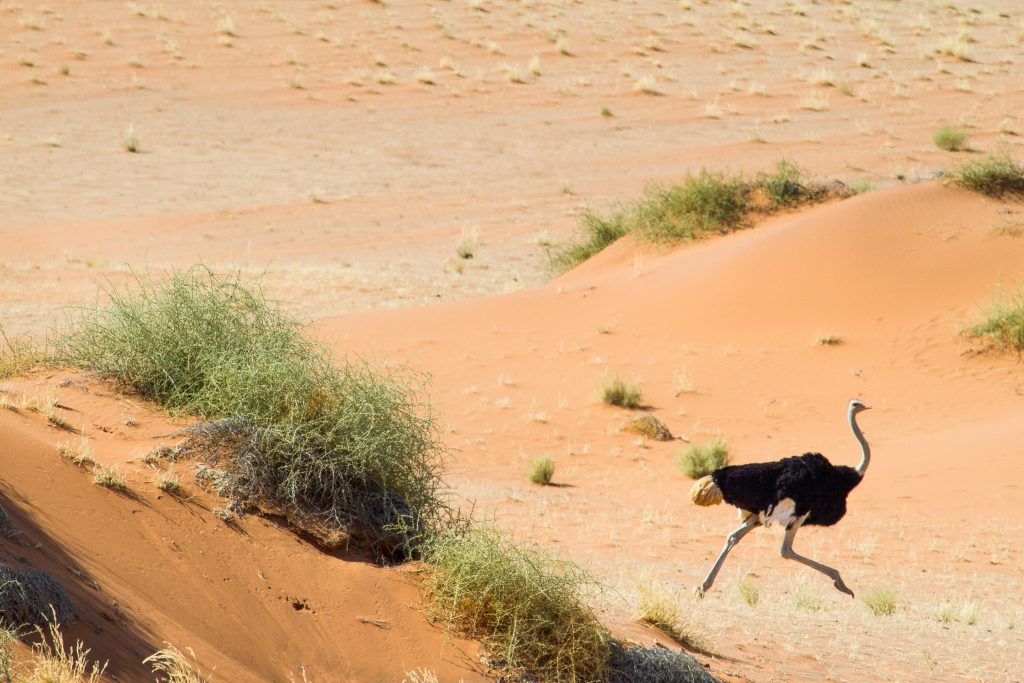 Africa for Kids: Ostrich in the Namib Desert