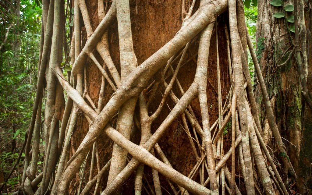 Australia for Kids: Strangler Fig
