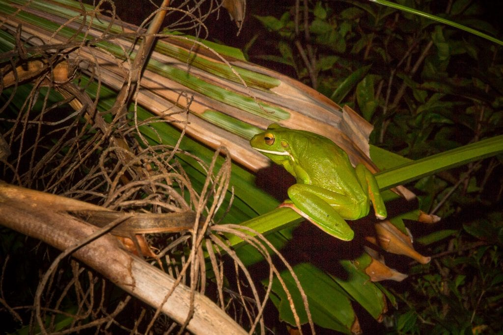Australia for Kids: Tree Frog