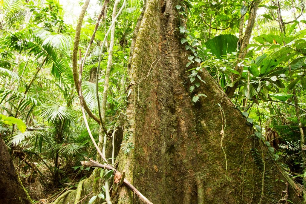 Australia for Kids: Rainforest Trees