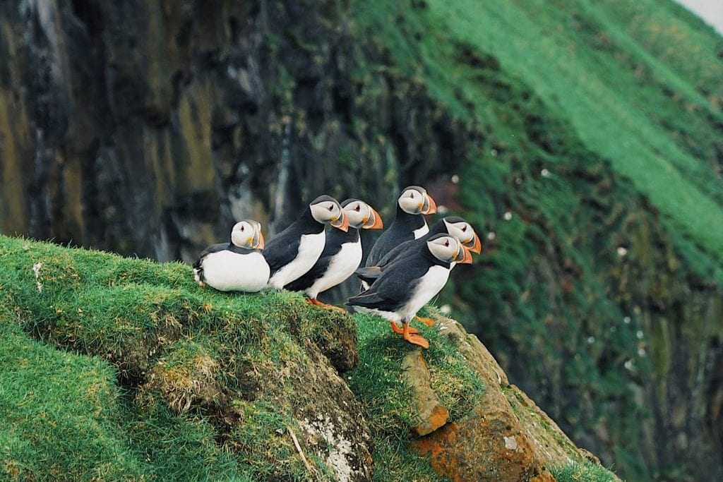 Faroe Islands with kids: puffins