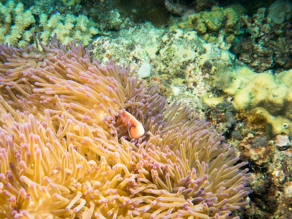 Australia for Kids: Anemone and Clownfish