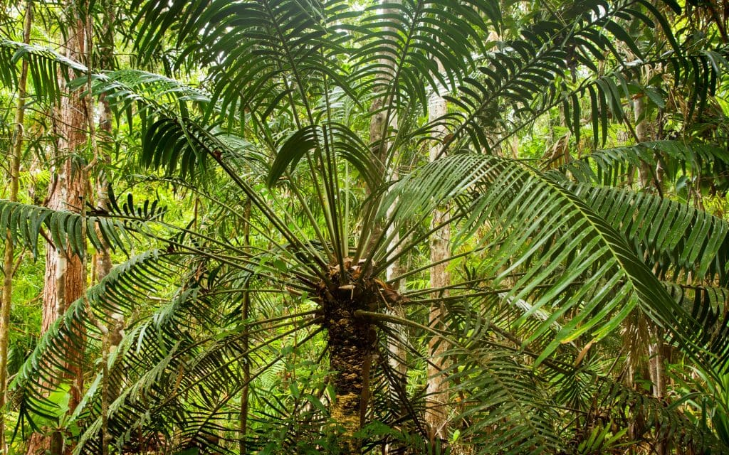 Australia for Kids: Tree Fern