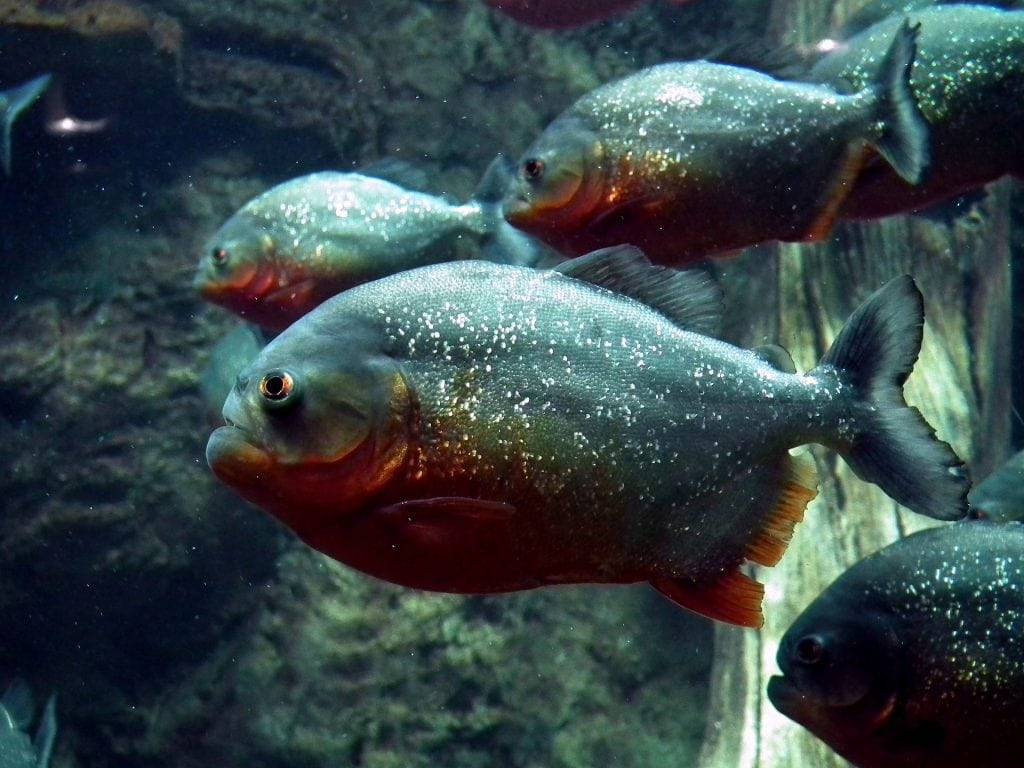 Brazil for Kids: Red-bellied piranhas