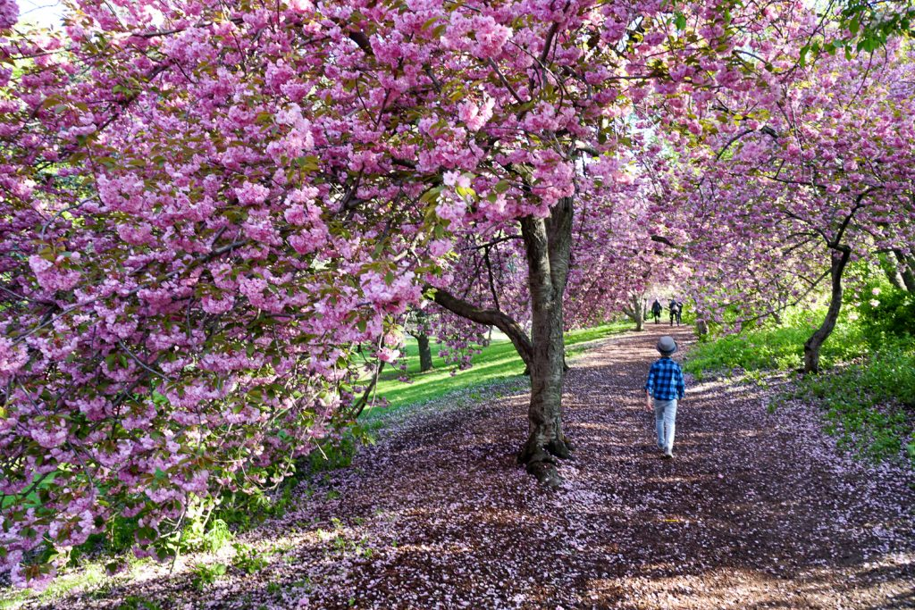 Things to do in NYC with kids: Cherry blossoms in Central Park
