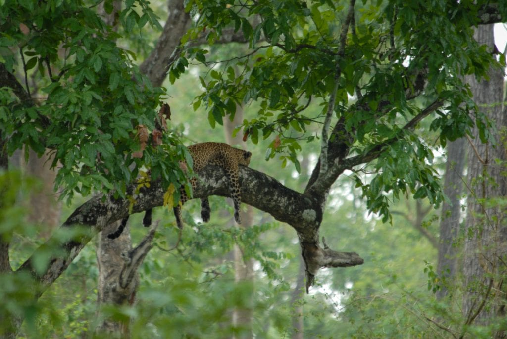 India for kids: Leopard in tree