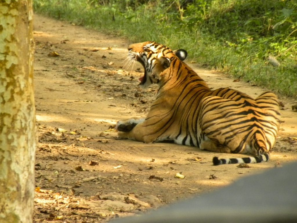India for kids: Tiger in Bandipur