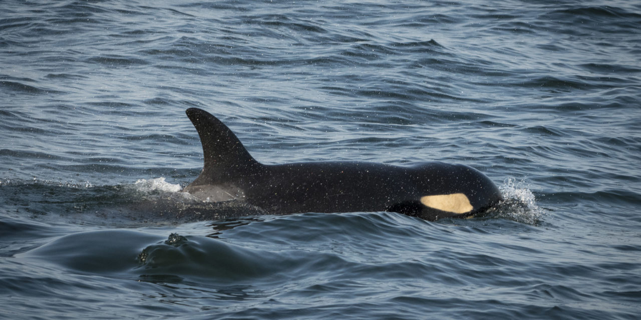 Tribes Support Southern Resident Killer Whale Task Force
