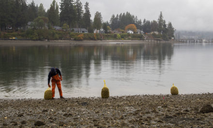 Liberty Bay Opens to Clam Harvest After Decades-Long Closure