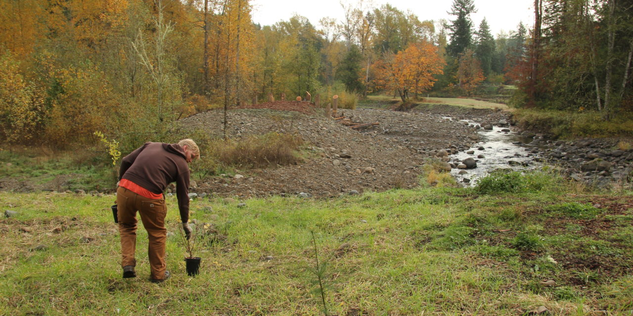 Planting caps decade of salmon restoration by Nisqually Tribe
