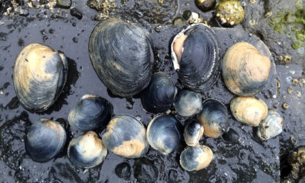 New study finds evidence of broadscale decline in native littleneck clams