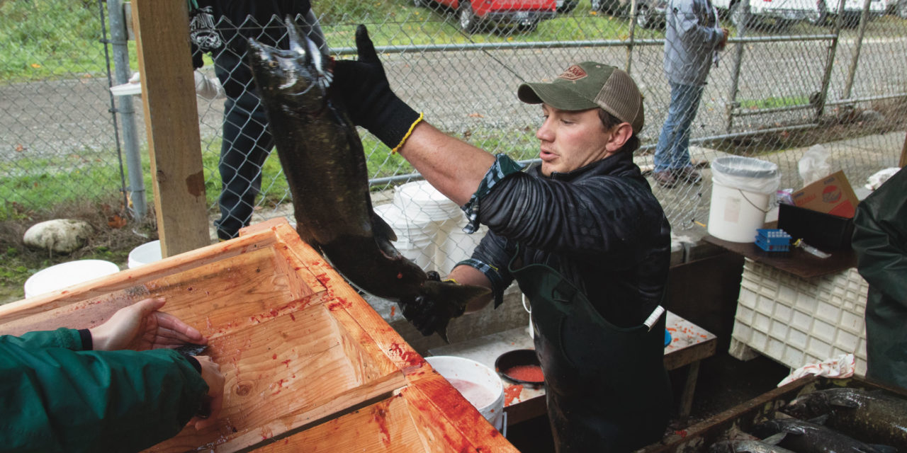 Nisqually Tribe raising bigger chinook to feed orcas