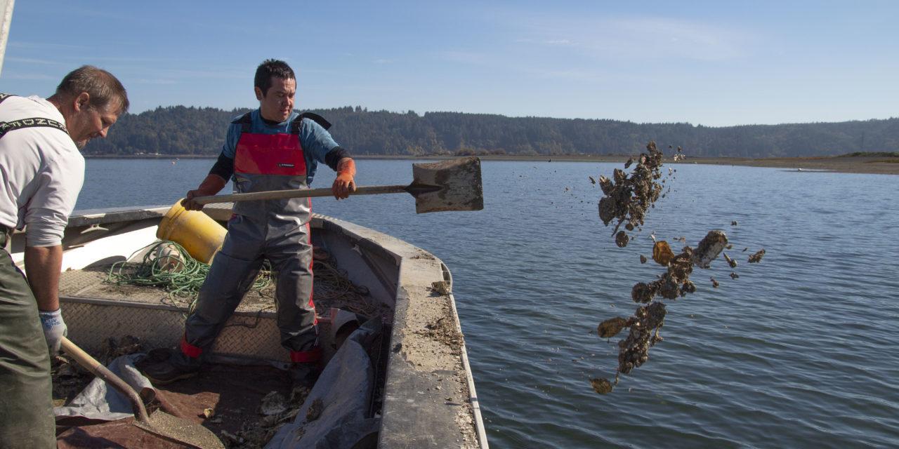 Skokomish Tribe starts Olympia Oyster Restoration on Tidelands