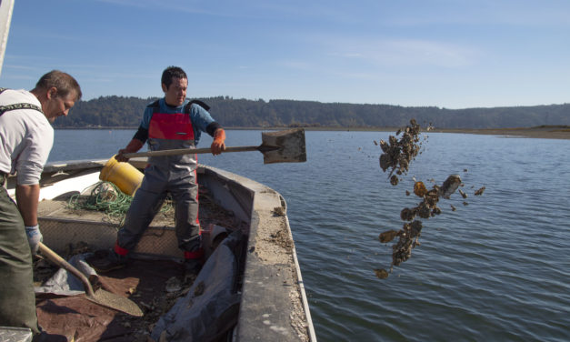 Skokomish Tribe starts Olympia Oyster Restoration on Tidelands
