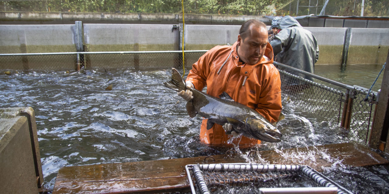 Northwest Treaty Tribes Magazine: Hatcheries Saving Salmon and Feeding Orcas