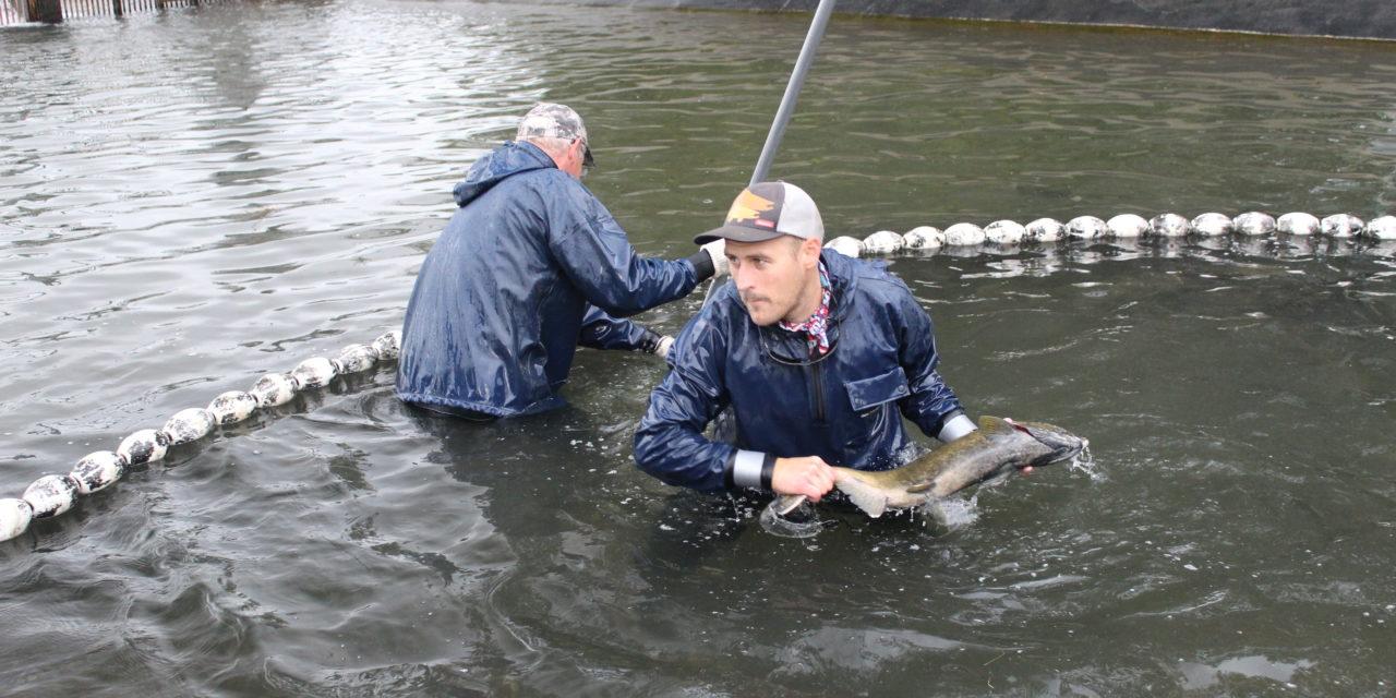 Treaty Tribes Released 41 Million Salmon In 2018