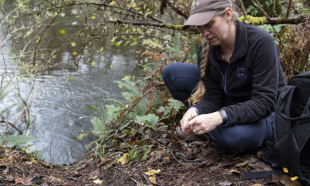 Otter hair snares, latrines provide data about Lake Ozette otter and salmon populations
