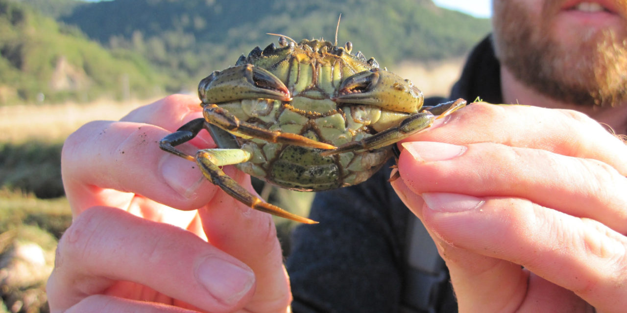 European Green Crab Numbers Explode on the Coast