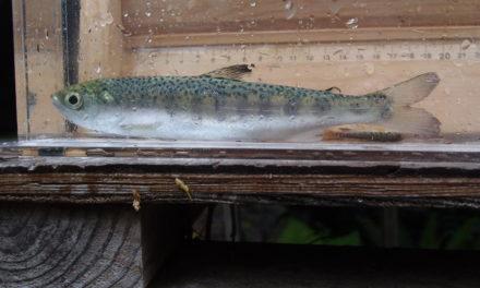 Coho Salmon found in Lake Sutherland