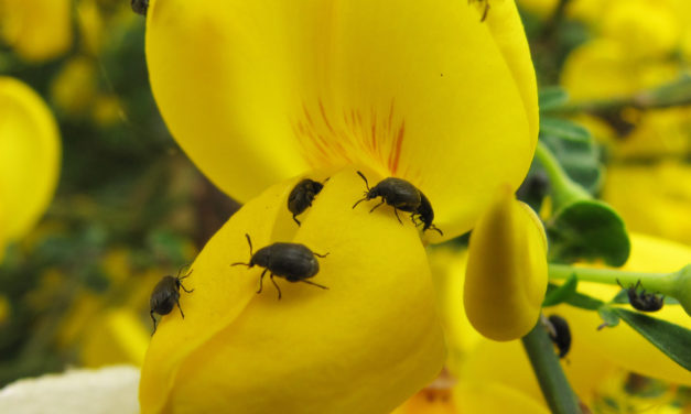 Scotch Broom Beetles could help slow spread of invasive plant
