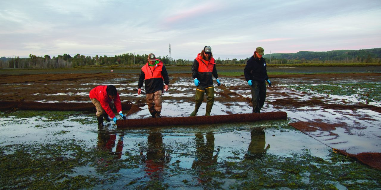 Burrowing Shrimp Degrading Shellfish Beds in Skokomish Estuary