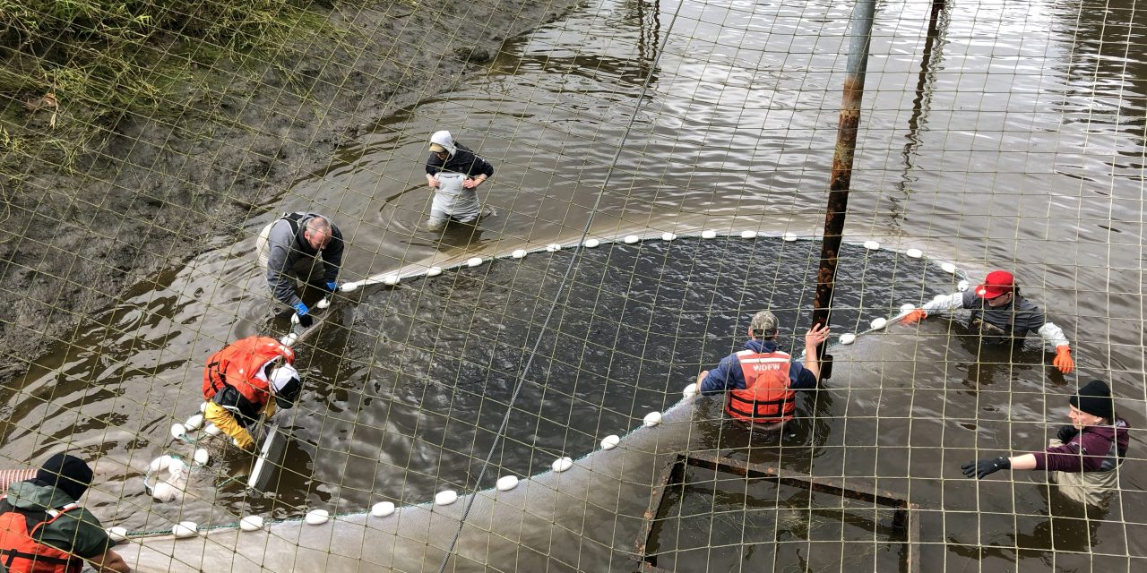 Tribes Partner in Net Pen Program, Ensuring Fish for All