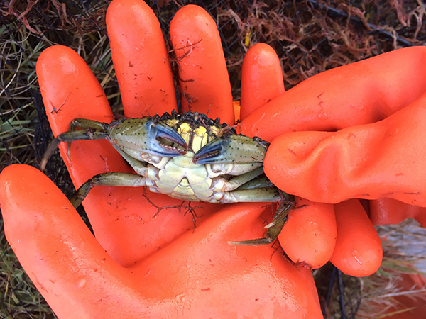 Cooperation Key to Containing Green Crab Invasion