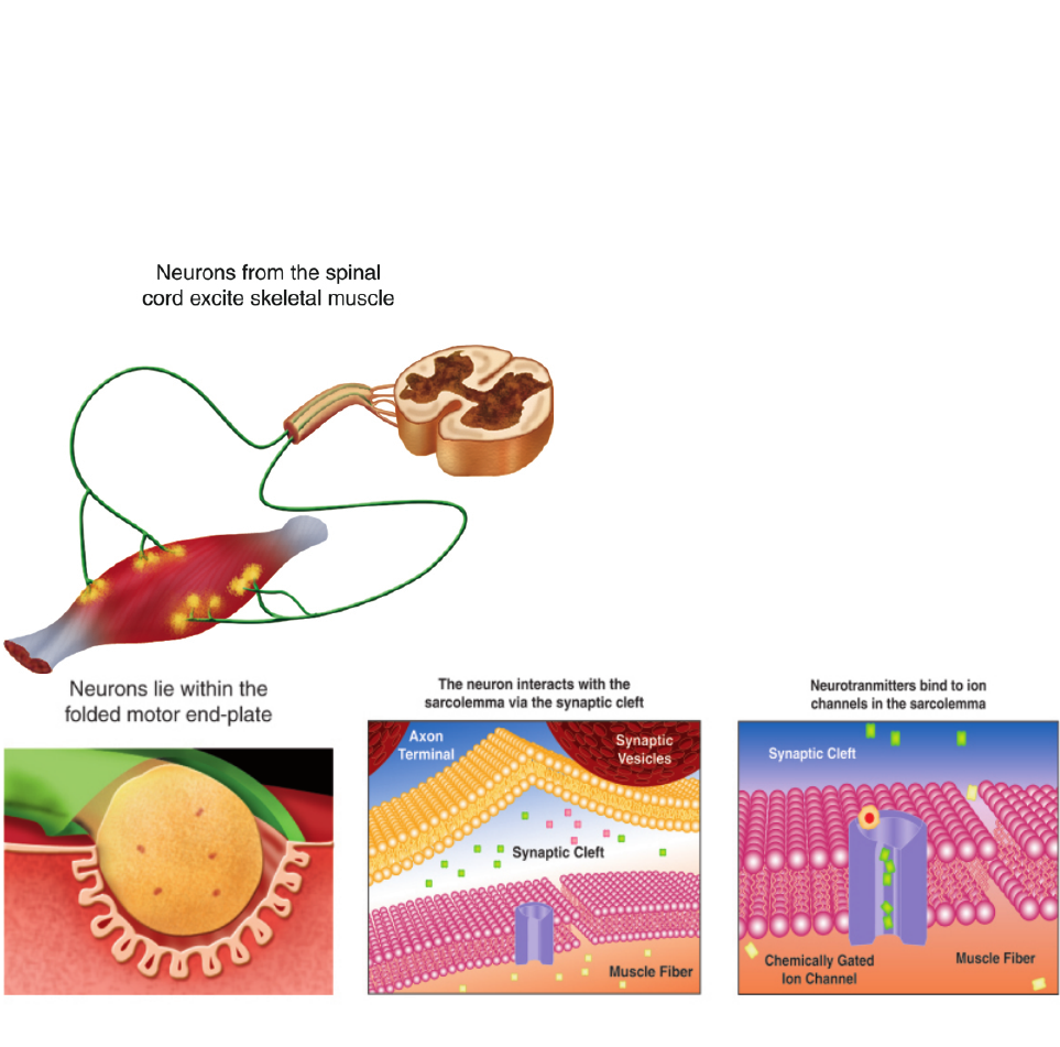 Anatomy and Physiology of the Neuromuscular Junction