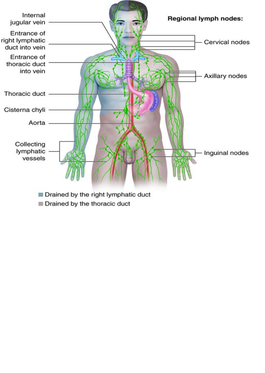 Major Functions Of The Lymphatic System