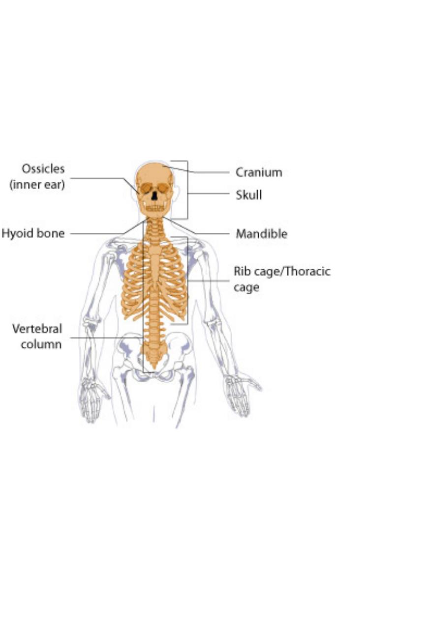 Axial Skeleton Anatomy