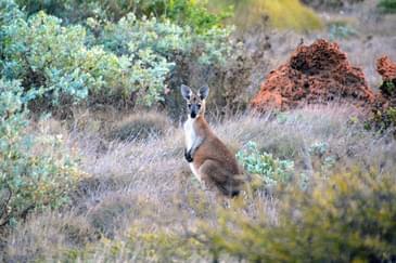Australia Ningaloo kangaroo