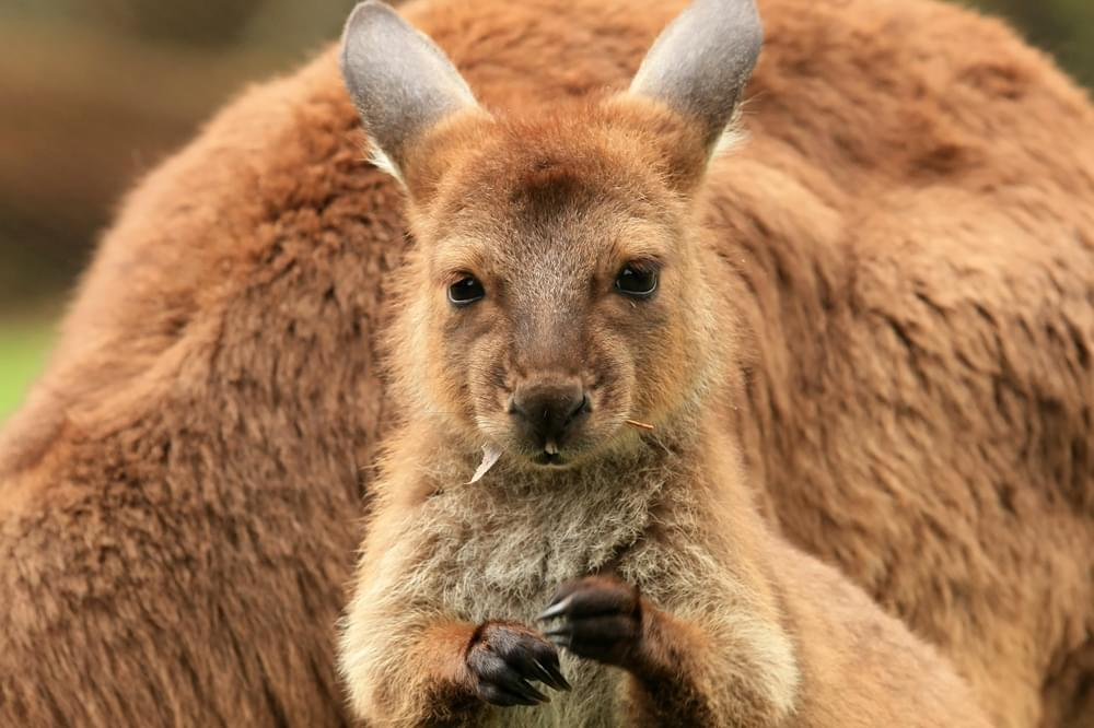 a baby joey kangaroo in australia