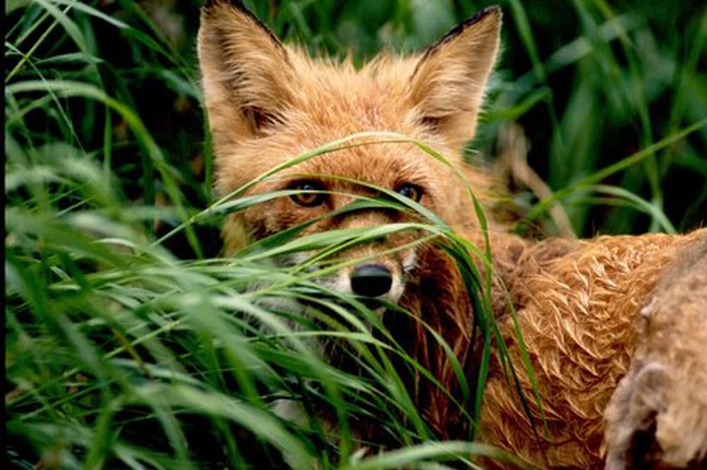 red fox in the grass in alaska
