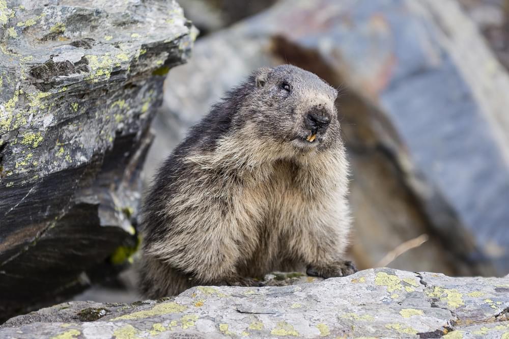 marmot in the rocks