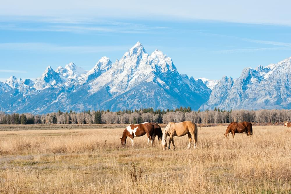 horses grazing in a field with the grand teton in the background