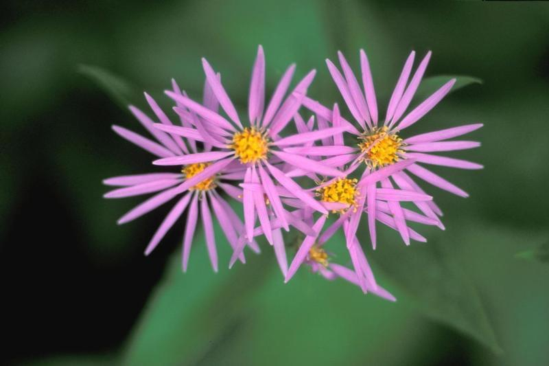 aster purple flower in the moutain
