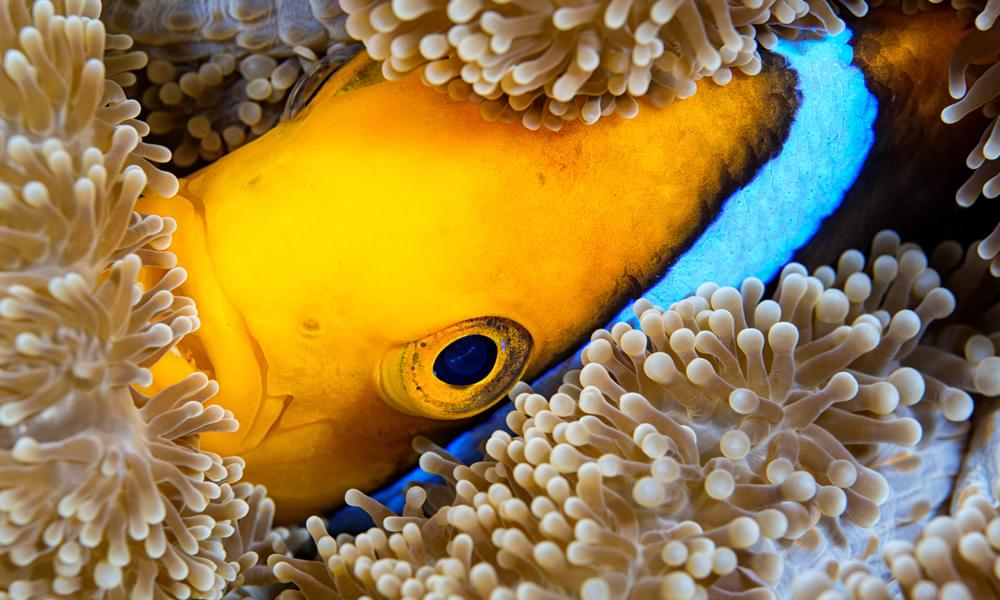 clown fish among the anemone