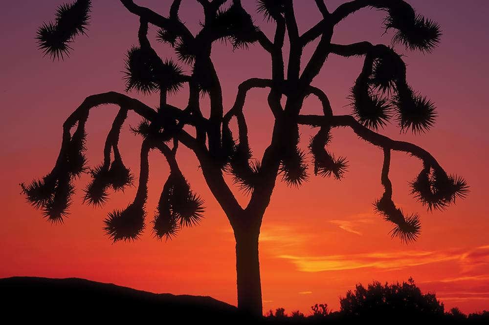 joshua tree sunset california