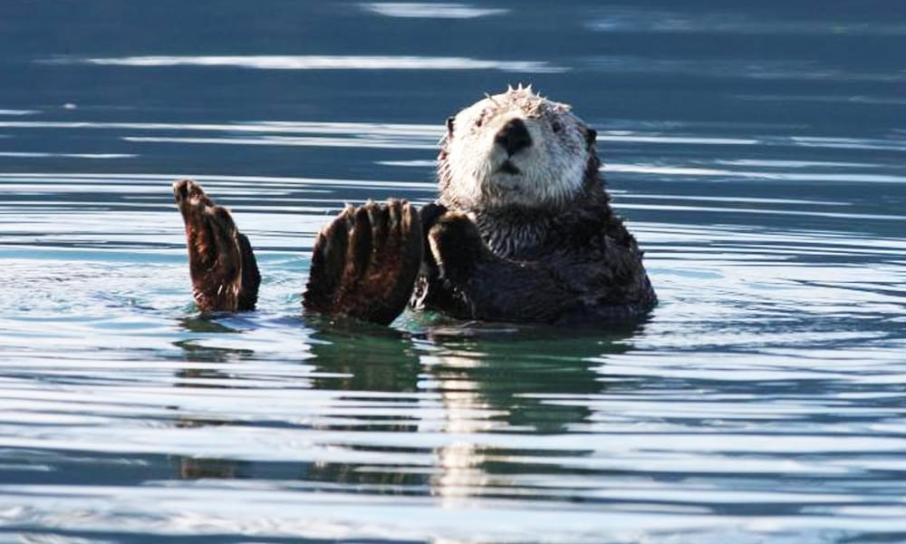 sea otter swimming in the ocean in alaska