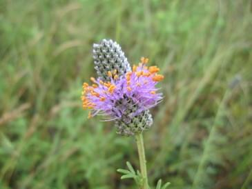 Tallgrass Prairie purple wildflower