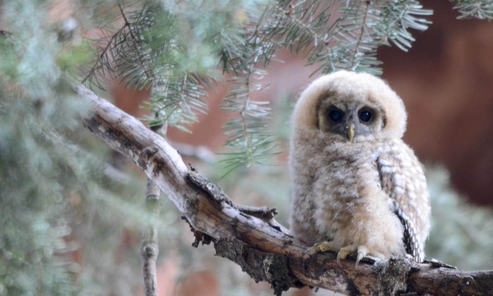 baby owl in zion national park