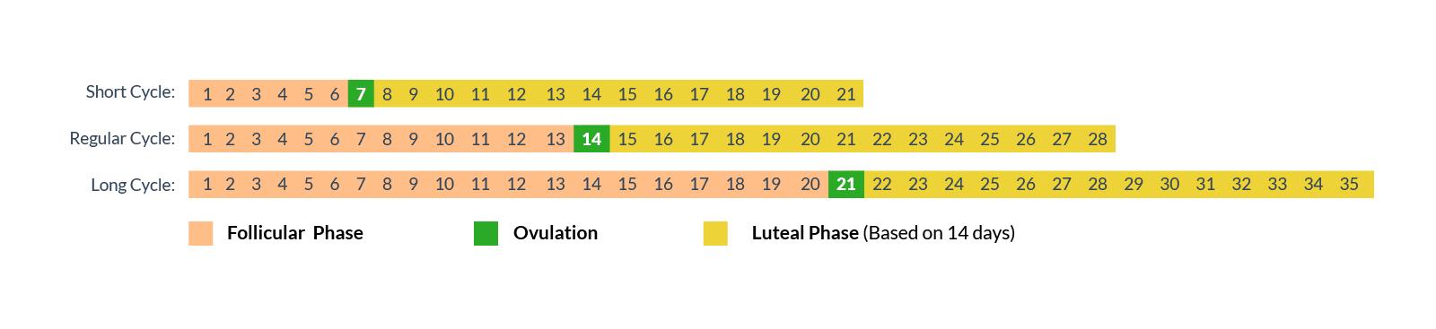 Follicular phase varies ovulation