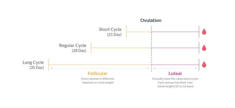 Cycle Length showing Varying Follicular Phase, Consistent Luteal Phase