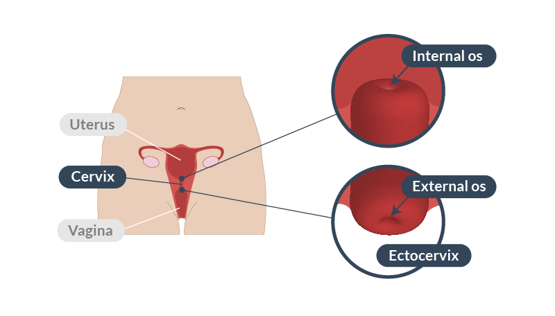 Position of the cervix. Note how it connects the vagina to the uterus