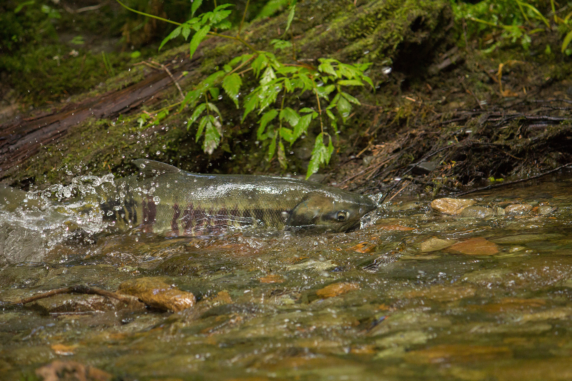 Salmon. Credit: Ben Adams.