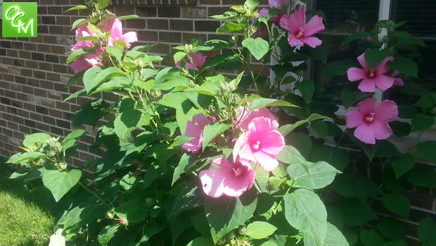 Hibiscus Flower Health Benefits Oakland County Moms
