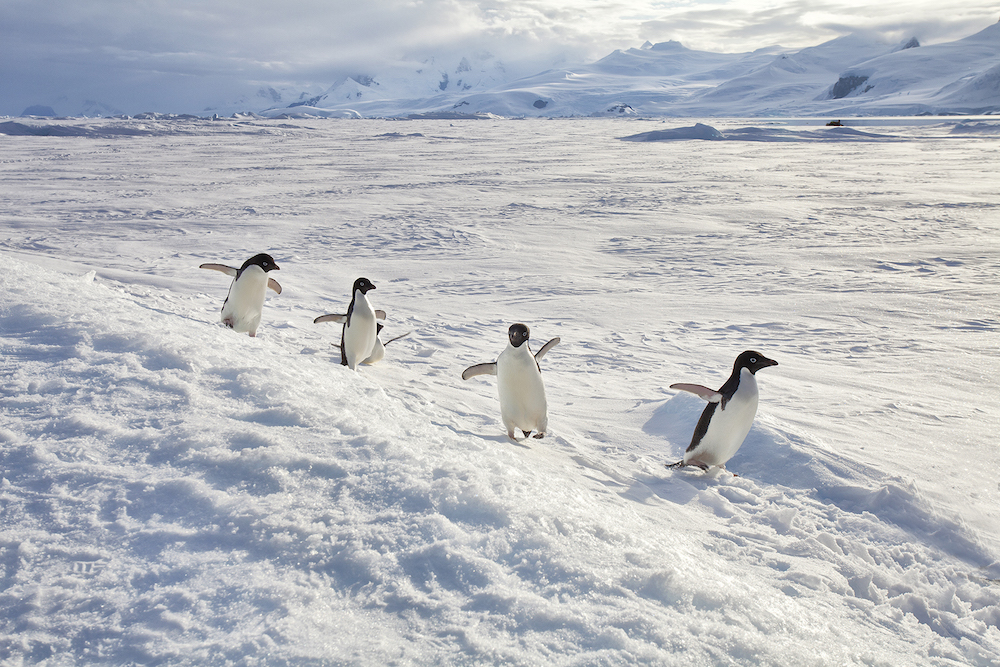 Go on a photography tour of penguins as part of your One Ocean Expeditions cruise to Antarctica.