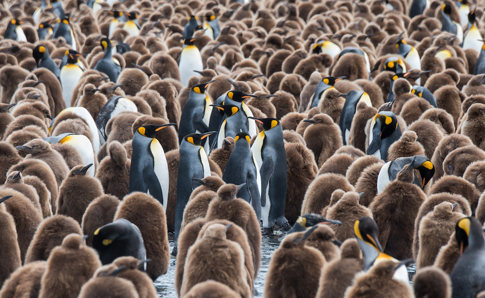 On your adventure cruise to South Georgia with One Ocean Expeditions, view hundreds of thousands of King Penguins.