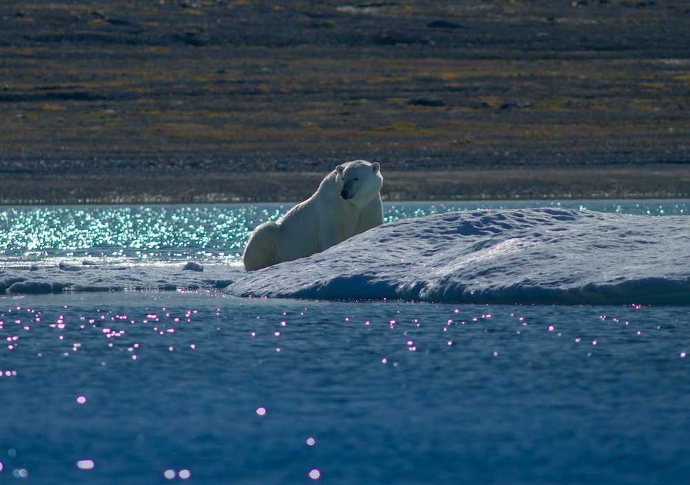 Polar bear and Arctic wildlife viewing in the Canadian Arctic near Baffin Island with One Ocean Expeditions - Small ship expedition cruise experts.