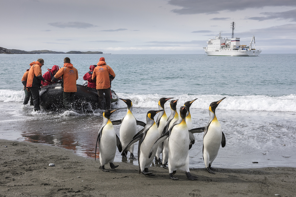Travel to South Georgia with One Ocean Expeditions for a once in a lifetime opportunity to see king penguins.